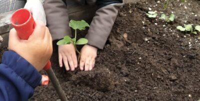 Kind pflanzt Gurke